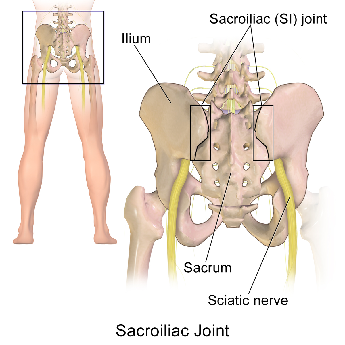 The sacroiliac joint, which can be accessed with acupunture needles and treats low back pain