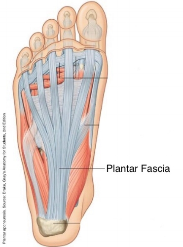 photo of the bottom of the foot, under the skin where the plantar fasia connects to the heel bone and the toes to support the arch